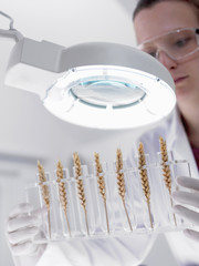 Scientist examining wheat in test tubes under magnification lamp