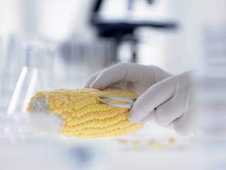 Scientist removing kernels from corn on the cob