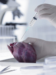 Scientist injecting heart with syringe