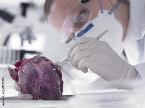 Scientist examining heart
