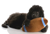 newfoundland puppy playing with stuffed football poster