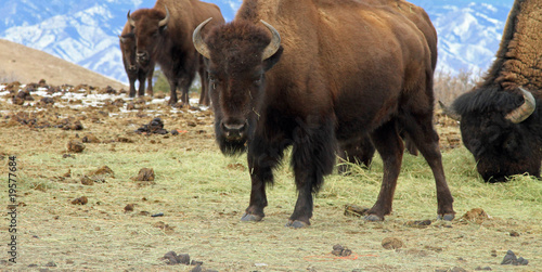 Staande foto Buffel Herd of healthy American buffalo grazing in the West
