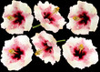 fleurs hibiscus fond noir