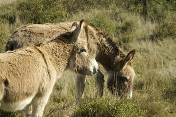 ânes de Provence