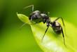 Quadro A black ant resting on green leaf