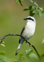 bird on a branch Shrike