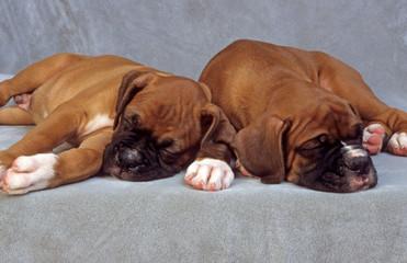 deux adorables chiots boxer dorment paisiblement