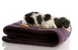 tri color cavalier king charles puppy on fuzzy blanket poster