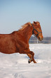 free chestnut horse in winter background