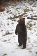 Bär aufgerichtet