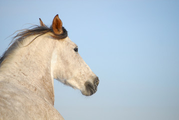 Portrait grey andalusian horse in motion