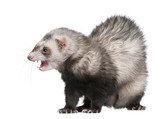 Ferret, Mustela putorius furo, 3 years old poster