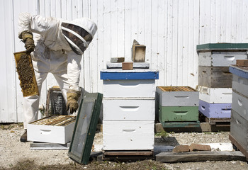 Beekeeper Removing Hive Frame from Box