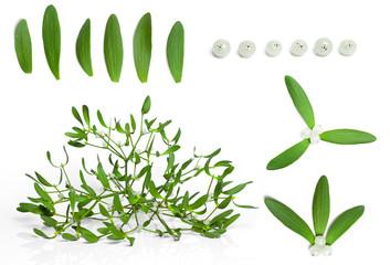 set of fresh green mistletoe