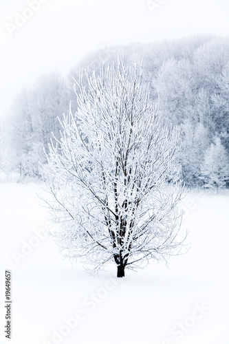 Fototapeta Frosty tree