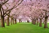 Kirschgarten in voller Blüte