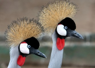 Beautiful Crowned Crane Birds