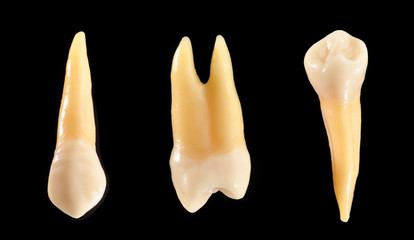 Canine and bicuspid anatomic models of teeth isolated on black