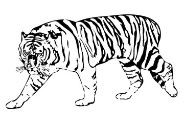 white tiger on a white background