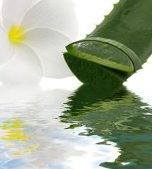 aloe vera fleur blanche frangipanier fond blanc reflets