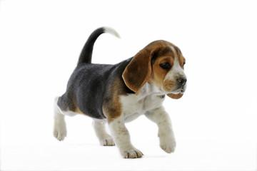 chiot beagle marchant d'une allure déterminée
