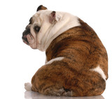 brindle and white english bulldog with back to viewer poster