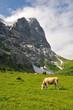 Wetterhorn Cow