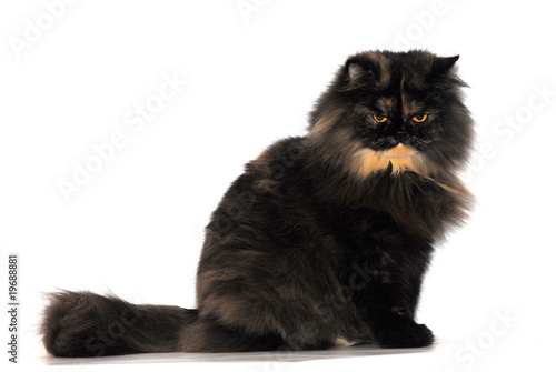 Tortie persian cat breed on white background