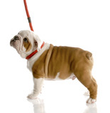 nine week old english bulldog puppy on a red leash poster