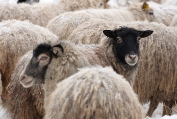 Warm sheep in the cold