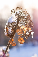 Dried hydrangea flowers with snowcap