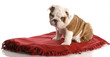 nine week old english bulldog puppy sitting on a red blanket
