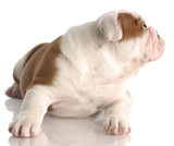nine week old english bulldog puppy looking to the side