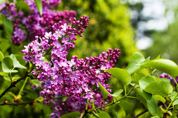 Lilac blossoming branchs