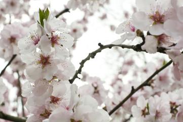 Kirschblüten_4