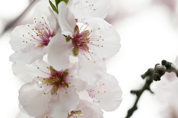 Kirschblüten_6