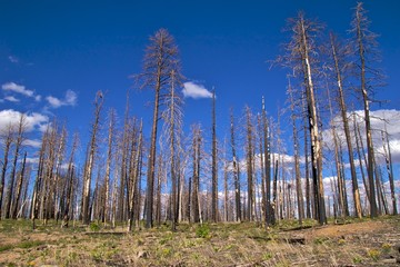 Burnt trees with blue sky, Kaibab Nat Forest near Grand Canyon