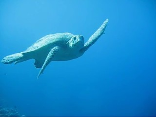 Kiss from the Caretta Turtle