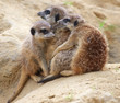 meerkats on a cold day - meerkats try to warm up each other