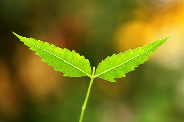 Neem-Medicinal plant