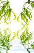 ylang-ylang fleurs juvéniles fond blanc