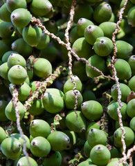 Closeup of a dates from a palm tree, ideal for a background