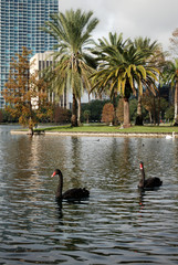 Black Swans at Eola Lake, Orlando