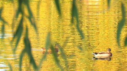 HD Ducks in gold rippled water with willow branch foreground