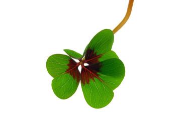 Glücksklee - four leafed clover 31