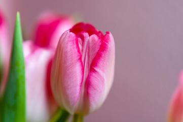 Tulpen. Blumen im Garten und im Haus