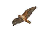 Ferruginous Hawk Isolated