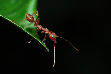 Macro of a weaver ant resting at edge of leaf