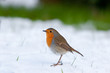 Robin standing in snow