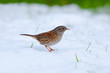 Dunnock/Hedge Sparrow standing in snow